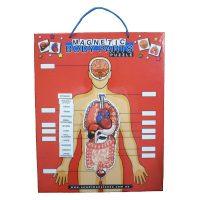 Human-Body-chart600